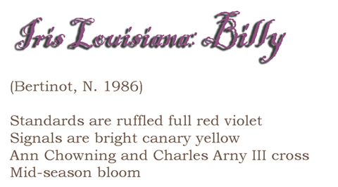 Horticultural Information on the Louisiana Iris known as Billy